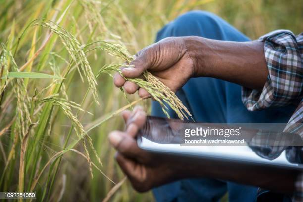 he new generation of farmers is using the research tablet and studying the development of rice varieties in the field. to increase the productivity. agriculture technology concept - condition stock pictures, royalty-free photos & images