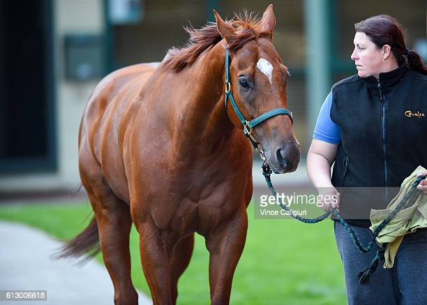 He Or She from David Hayes and Tom Dabernig stable is seen after a trackwork session at Flemington Racecourse on October 7 2016 in Melbourne...