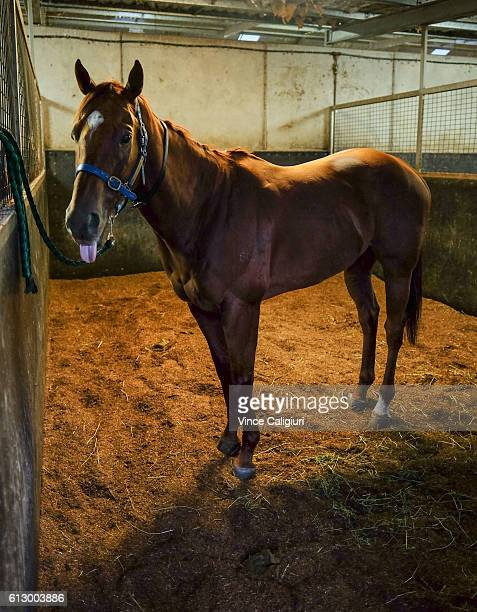 He Or She from David Hayes and Tom Dabernig stable is seen in her stable before a trackwork session at Flemington Racecourse on October 7 2016 in...