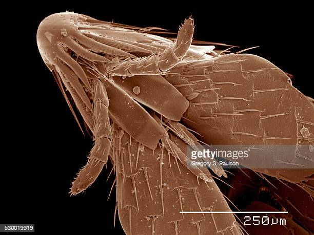 Head and mouth parts of flea, Siphonaptera SEM