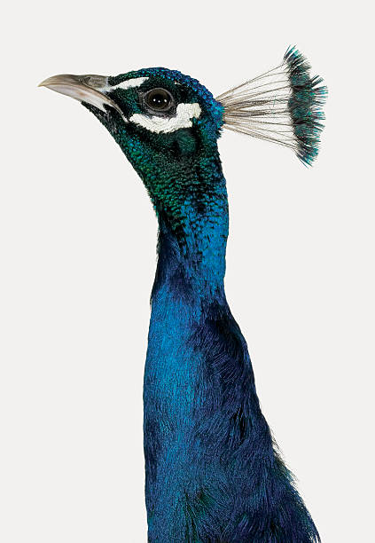 Head and Neck of a Peacock