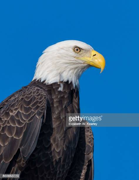 Head and Upper Body of a Bald Eagle