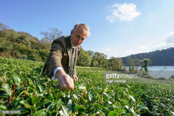 Head Gardener at Tregothan Estate, Jonathon Jones oversees the first pluck of tea in October on the west banks of Tregothnan on October 14, 2020 at...