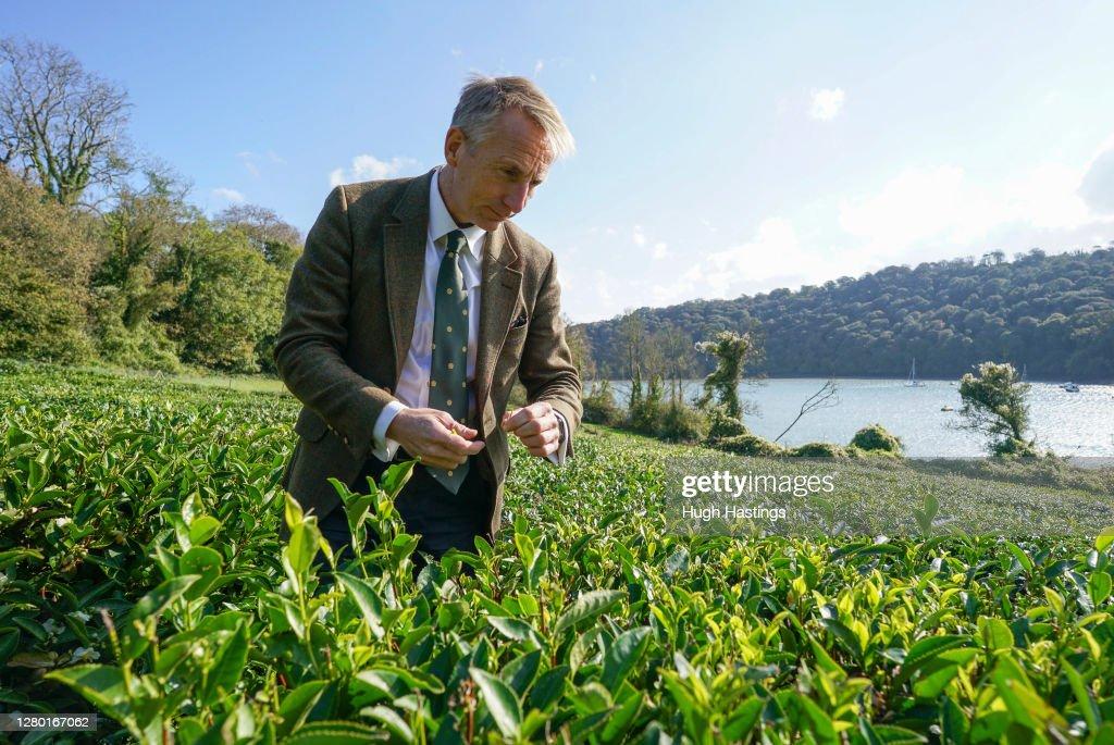 First October Harvest At Darjeeling-Style Tea Plantation In Cornwall : News Photo