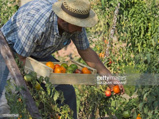 Head gardener of the Tomato Conservatory, Nicolas Toutaint picks tomatoes at the Conservatoire de la Tomate at the Bourdaisiere castle, in...
