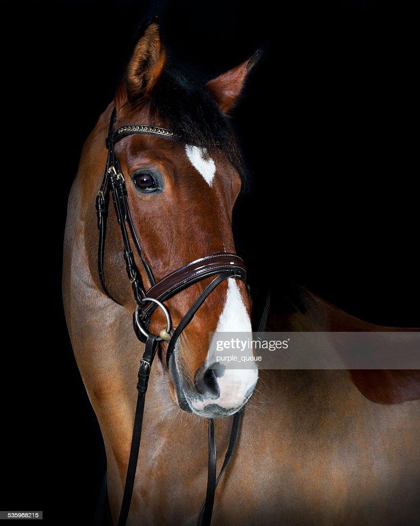 head Holsteiner horse riding : Stock Photo
