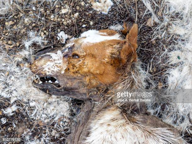 head, jaw and teeth of a dead animal (fox) in outpost been of decomposition in the mountain - rotten teeth stock photos and pictures