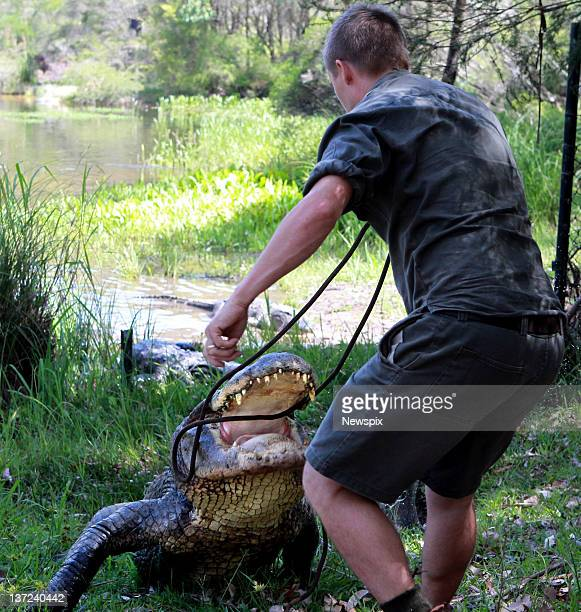 Head keeper Tim Faulkner attempts to keep the park's oldest American male alligator at bay during the annual Alligator egg harvest at the Australian...