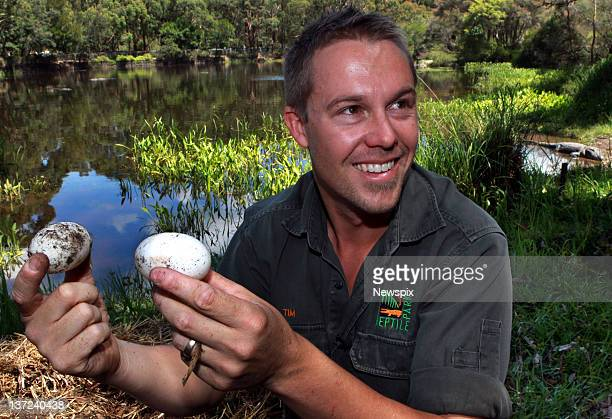 Head keeper Tim Faulkner poses with some of 45 the eggs collected during the annual Alligator egg harvest at the Australian Reptile Park on January...
