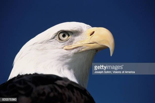 head of a bald eagle - pigeon forge stock pictures, royalty-free photos & images