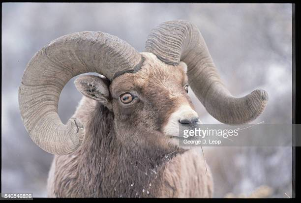 Head of a Bighorn Sheep