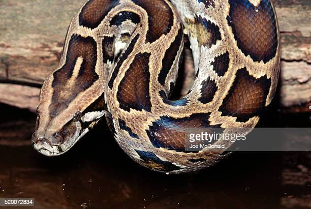 head of a burmese python - burmese python stock pictures, royalty-free photos & images