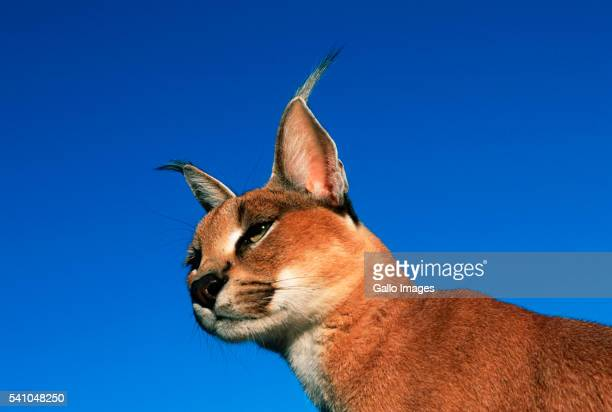 Head of a Caracal