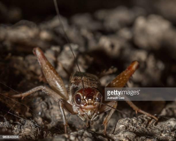head of a cricket head - コオロギ ストックフォトと画像