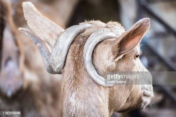 head of a goat with horns curled around the ears - dorte fjalland stock pictures, royalty-free photos & images