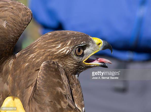Head of a golden eagle with tongue out