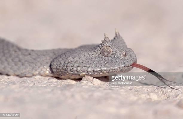 Head of a Horned Desert Viper