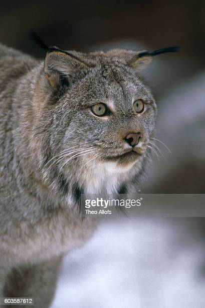 head of a lynx in the winter - canadian lynx stock pictures, royalty-free photos & images