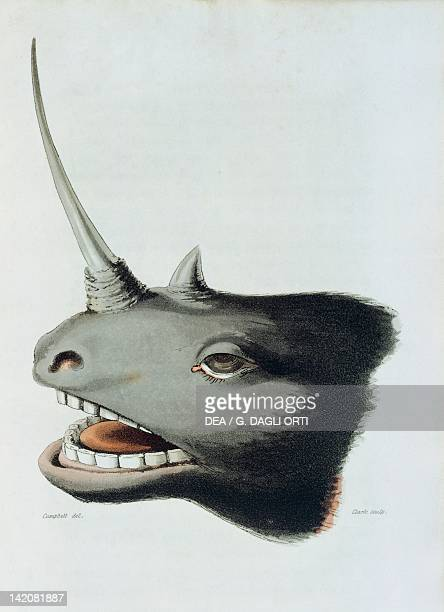 Head of a rhinocerous killed near Mashow by Clark from Travels in South Africa by Rev John Campbell South Africa 19th century.