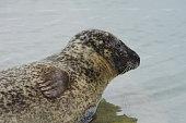 Head of a sea-calf seal