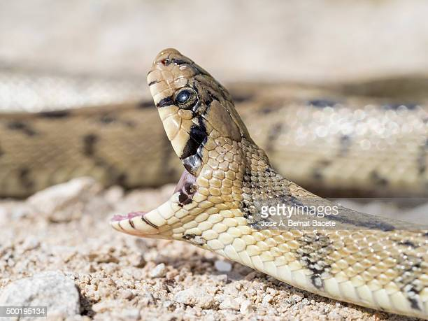 Head of a striking snake with mouth open, snake of stairs (Elaphe scalaris)