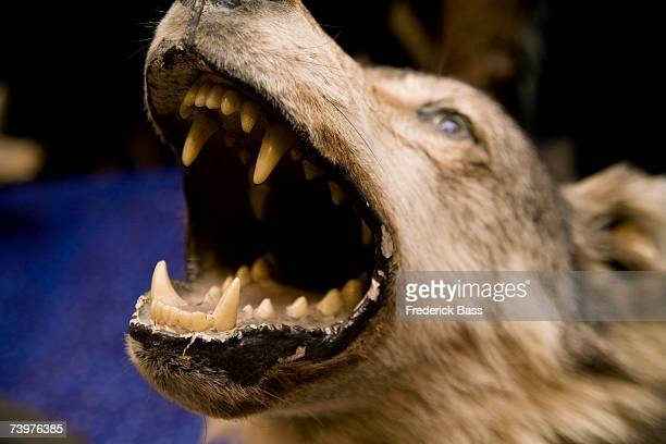 Head of a stuffed wolf