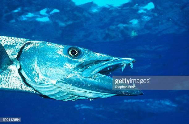 head of a swimming barracuda - barracuda foto e immagini stock