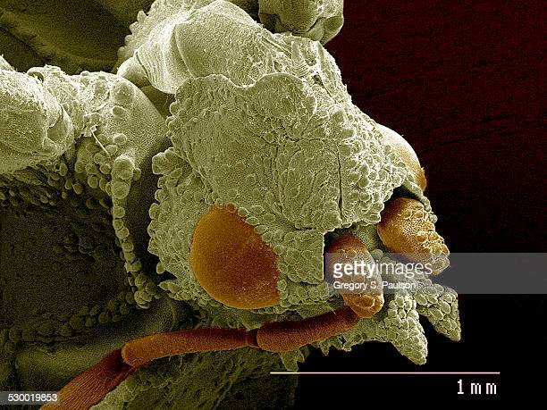 head of ambush bug sem - scanning electron microscope stock pictures, royalty-free photos & images