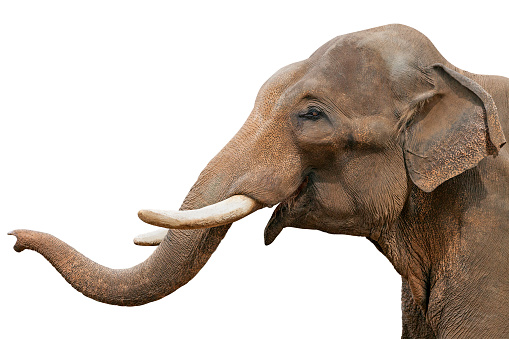 Head of an elephant, isolated 1026434004