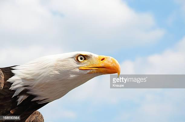 Jefe de águila calva contra el cielo