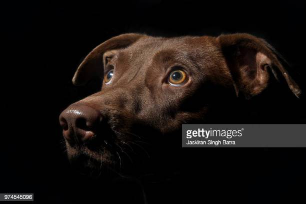 Head of brown dog, Chandigarh, India
