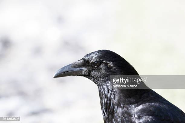 head of carrion crow - crow bird stock photos and pictures