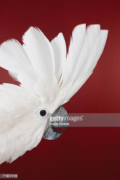 Head of cockatoo displaying plumage
