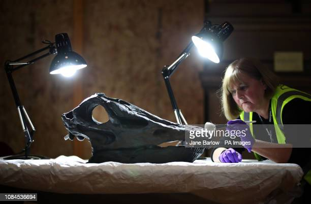 Head of Conservation Lorraine Cornish cleans the skull of Dippy the famous diplodocus from the Natural History Museum which is being put back...