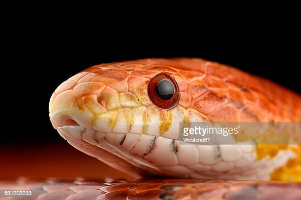 head of corn snake, pantherophis guttatus - corn snake stock pictures, royalty-free photos & images
