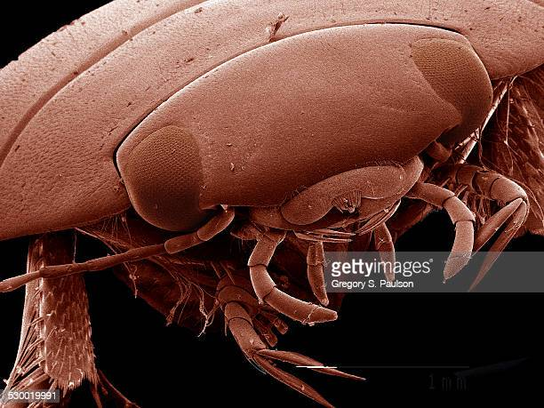 head of diving beetle, dytiscidae sem - diving beetle stock pictures, royalty-free photos & images