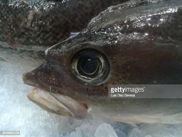 Head of fresh cod