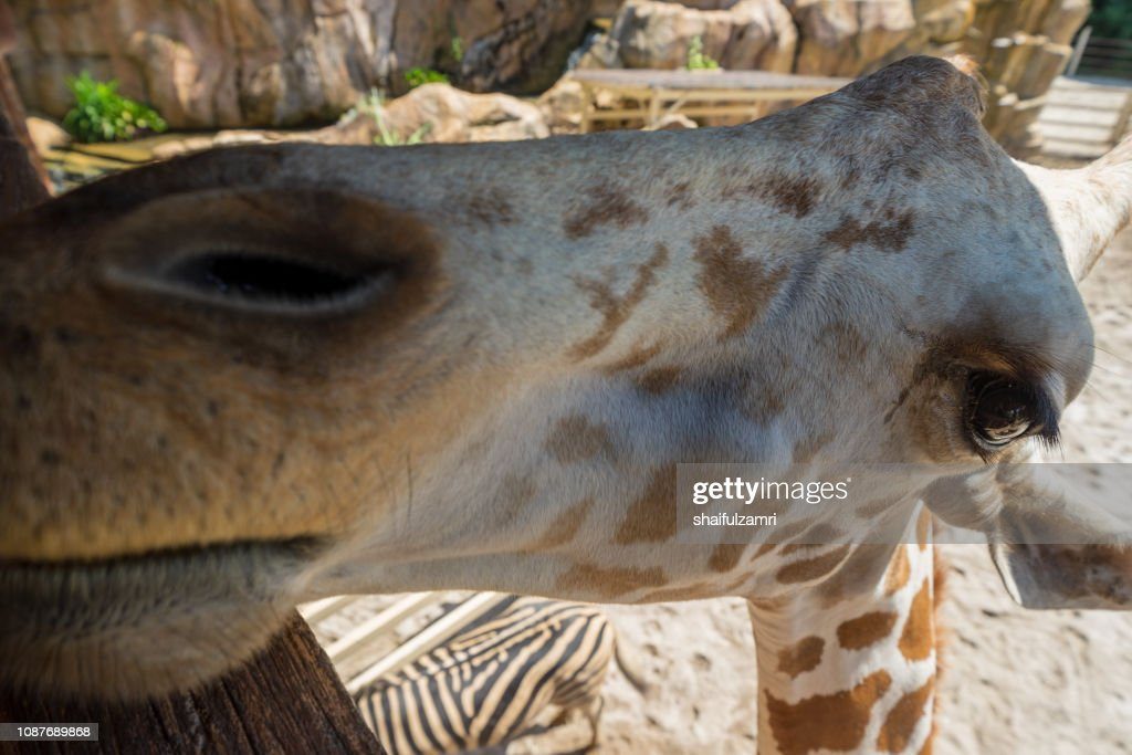 Head of giraffe. : Stock Photo