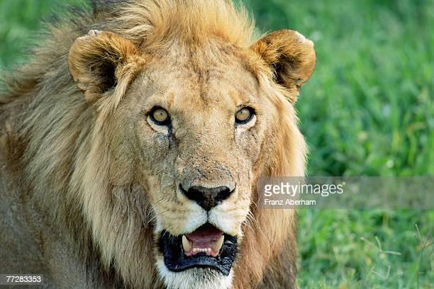 Head of male lion