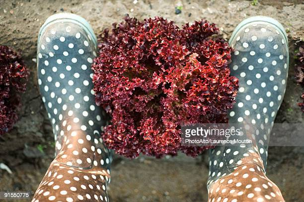 Head of merlot lettuce framed by pair of polka dotted galoshes viewed from above