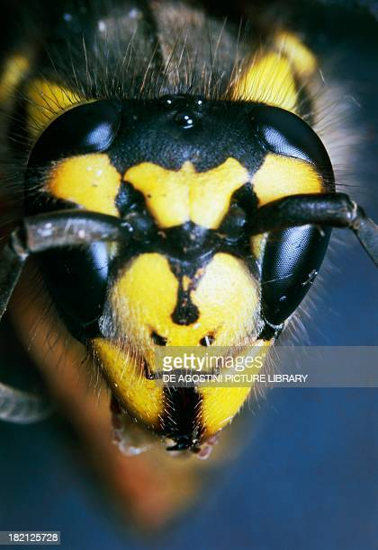 Head of Paper Wasp , Hymenoptera.