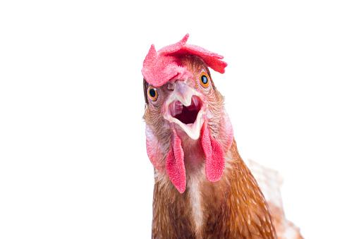 head of surprising hen 477375508