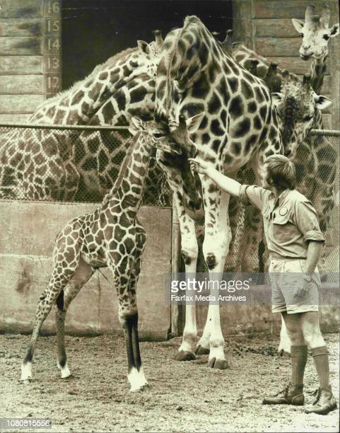 Head of the hoofed stock section Peter Newman with mother and baby2 Weeks old Finnie a baby giraffe had his first look at the outside world today...