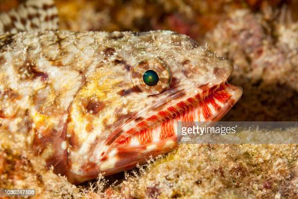 head of variegated lizardfish synodus variegatus with impressing teeth, big island, hawaii - big bottom stock pictures, royalty-free photos & images