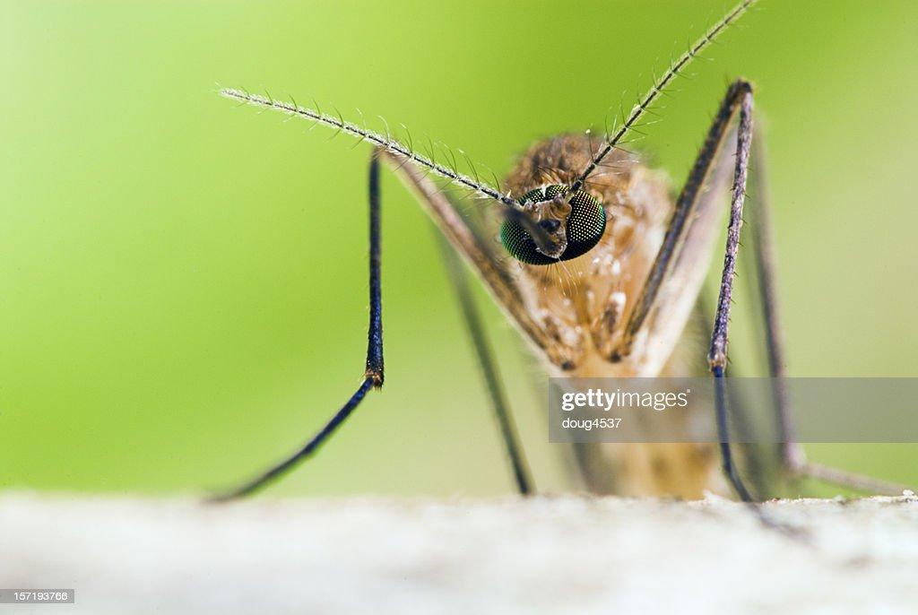 Head on Mosquito Portrait : Stock Photo