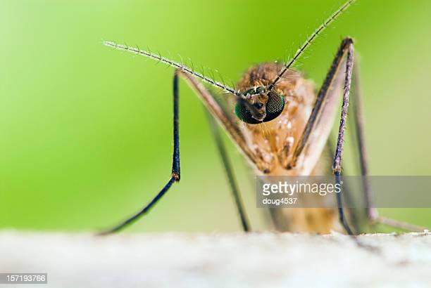 Head on Mosquito Portrait