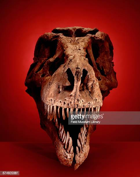 Head on portrait view of the corrected cast of the skull of Sue a Tyrannosaurus Rex at the Field Museum in Chicago Illinois March 1 2000 The skull is...