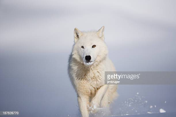 head on view of arctic wolf in winter landscape. - poolklimaat stockfoto's en -beelden