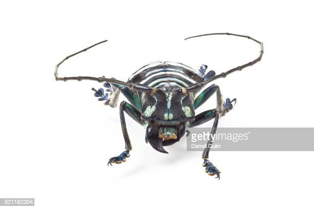 head on view of horned beetle anoplophora elegans - horned beetle stock pictures, royalty-free photos & images