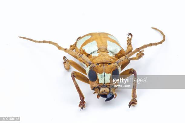 head on view of long horned beetle prosopocera lactator lactator - horned beetle stock pictures, royalty-free photos & images